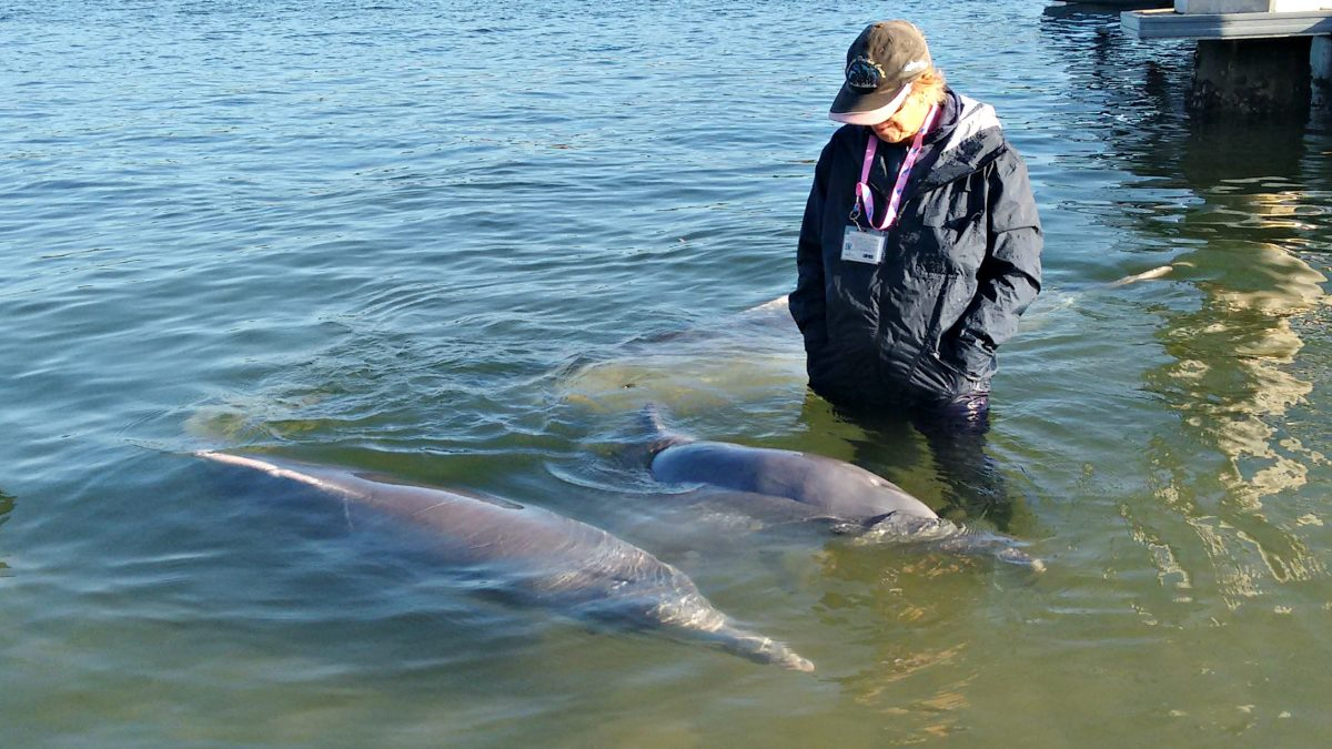 Wild dolphins with volunteer
