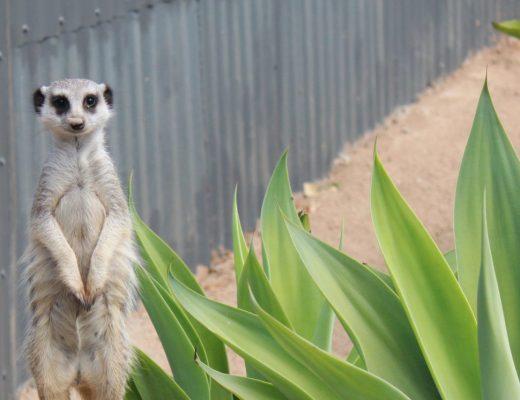 Meerkats at Wildlife HQ