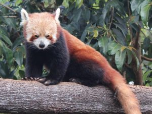 A red panda at Wildlife HQ Zoo