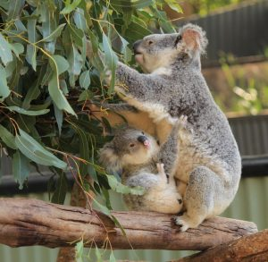 A baby koala and mum at Wildlife HQ Zoo