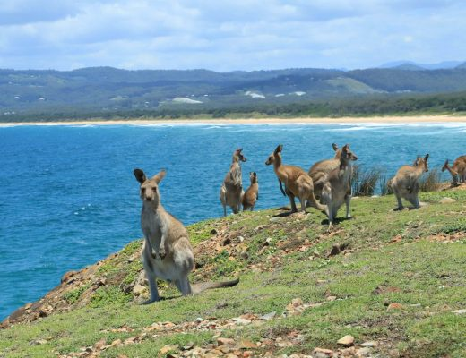 Kangaroos on the beach at Look At Me Now Headland