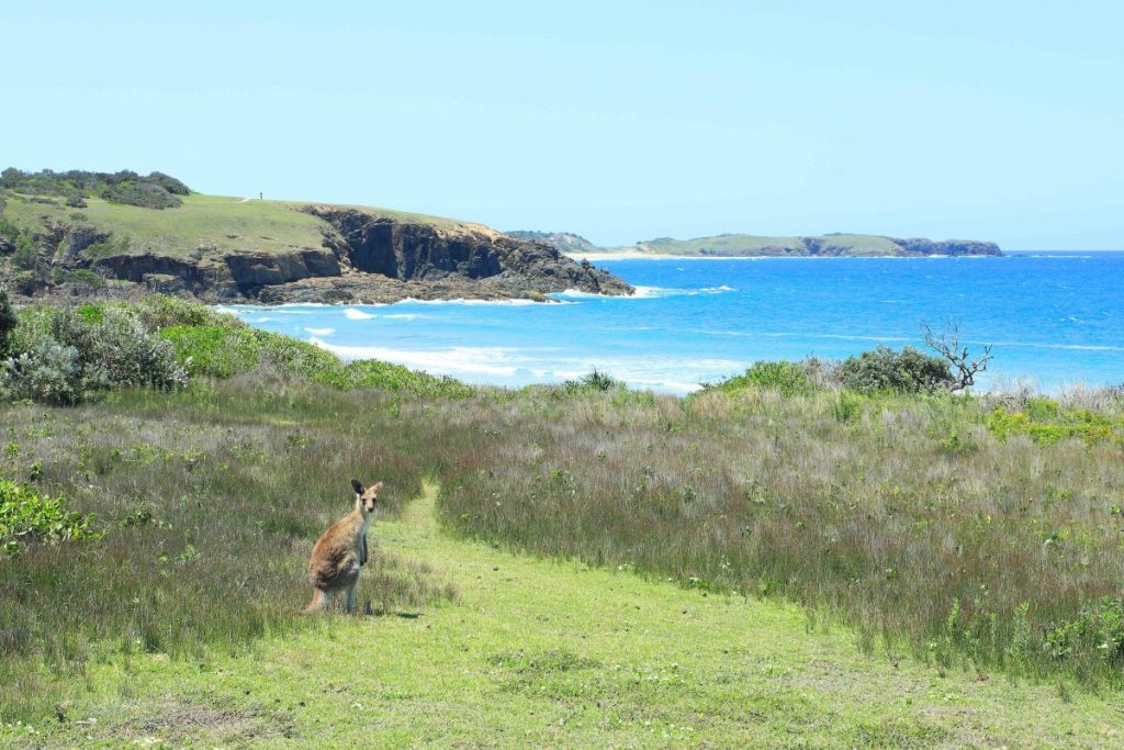 Kangaroos at Look At Me Now Headland