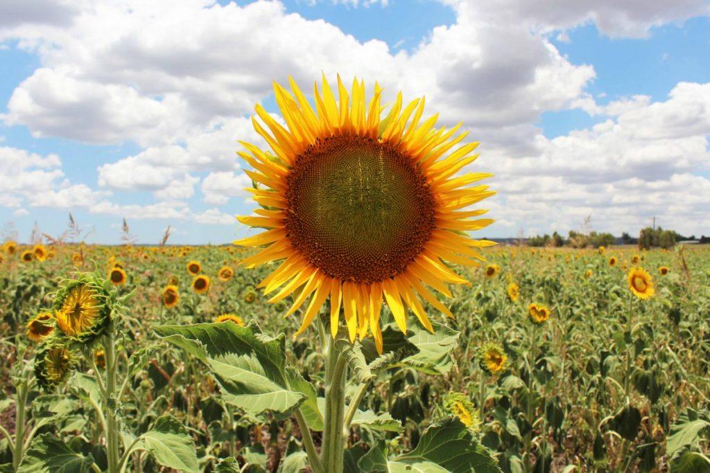A field of Sunflowers near Nobby