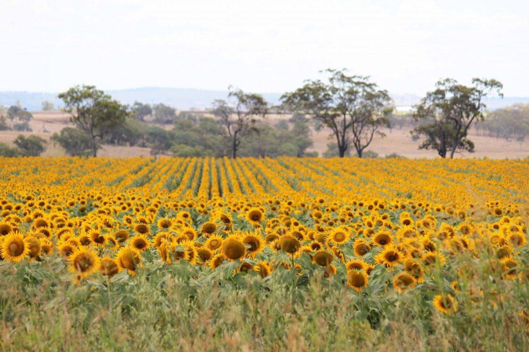 A field of Sunflowers near Cambooya