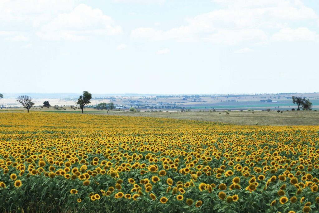 A field of Sunflowers near Cambooya