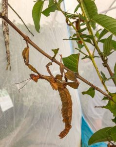 Stick insects at Butterfly Hill.