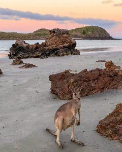 A kangaroo on the beahc at Cape Hillsborough.