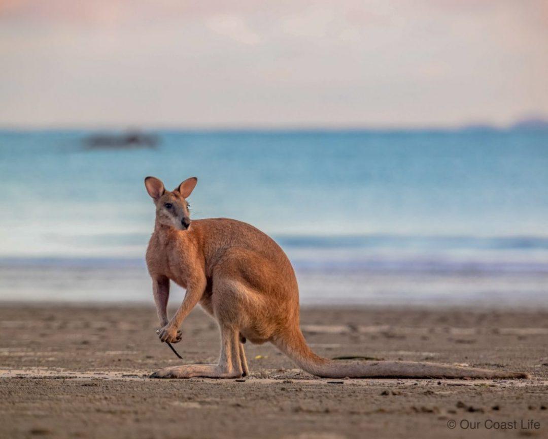 A kangaroo on the beahc at Cape Hillsborough