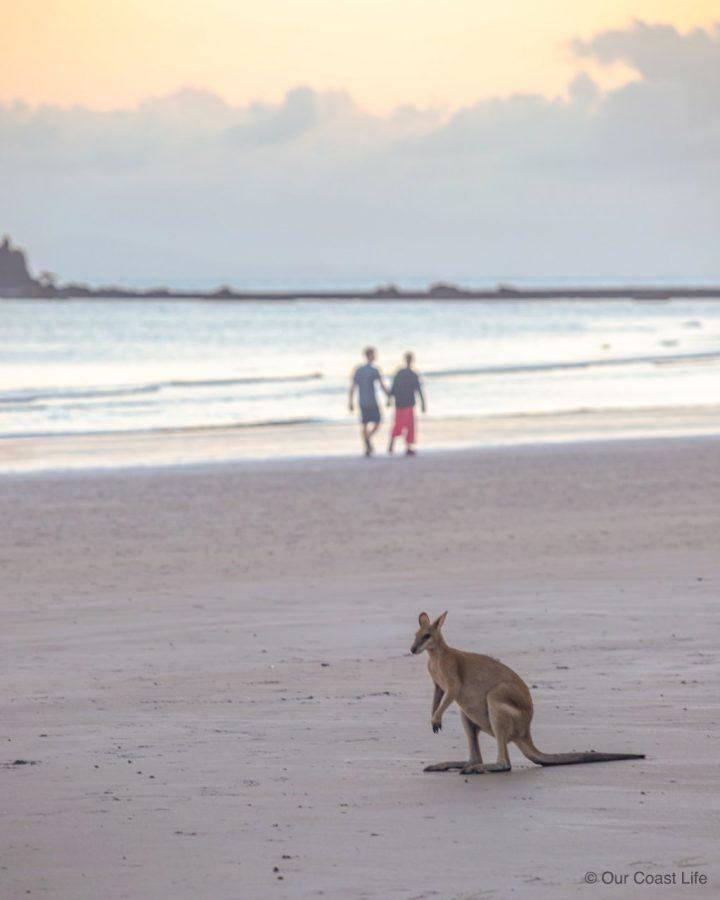 A kangaroo on the beahc at Cape Hillsboroug.