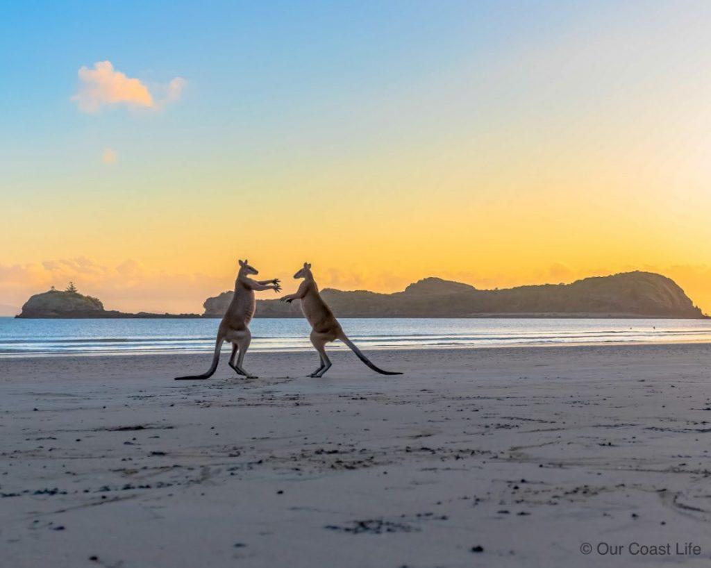 Kangaroos on the beach at Cape Hillsborough